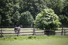 Thoroughbred saddle horse in summer corral waiting for riders Stock Photography