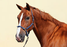Thoroughbred sorrel horse portrait Royalty Free Stock Photo