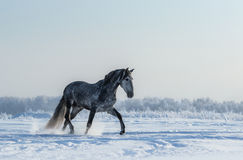 Thoroughbred Spanish gray horse walks on freedom Royalty Free Stock Images