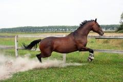 Thoroughbred Stallion lizenzfreie stockfotografie