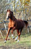 Thoroughbred Stallion Lizenzfreies Stockbild