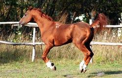 Thoroughbred stallion Royalty Free Stock Images