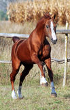 Thoroughbred stallion Royalty Free Stock Images