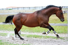 Thoroughbred stallion Royalty Free Stock Image