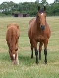 Thoroughbred-Stute und Fohlen Stockbild