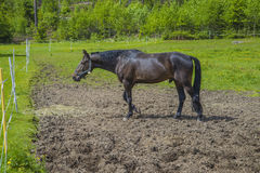 Thoroughbred, trotter. The image is shot at a farm in Aremark municipality that borders to Halden municipality, Norway Royalty Free Stock Images