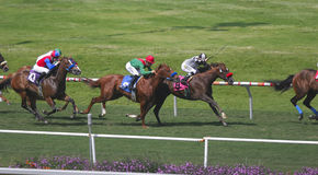 Thoroughbred Turf Race -- 1 royalty free stock photos