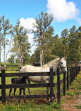 Thoroughbred white horse with black colt. Royalty Free Stock Photos