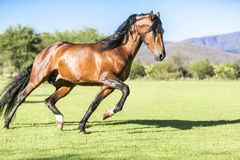 Thoroughbred wild horse Royalty Free Stock Photography