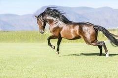 Thoroughbred wild horse Royalty Free Stock Photos
