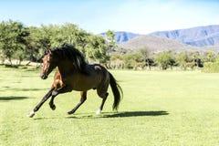 Thoroughbred wild horse Stock Photos