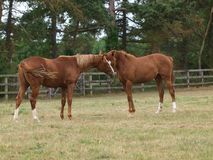 Thoroughbred Yearlings Royalty Free Stock Photos