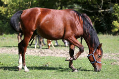 Thoroughbred young arabian horse graze on summer meadow Stock Photo