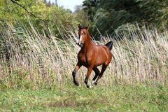Thoroughbred young arabian stallion canter on summer meadow. Arabian breed horse galloping across a green summer pasture Stock Photo