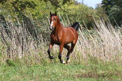 Thoroughbred young  arabian stallion canter on summer meadow. Arabian breed horse galloping across a green summer pasture against green natural background Royalty Free Stock Image