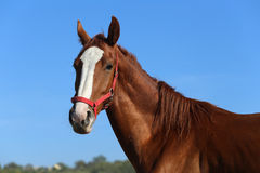 Thoroughbred young horse posing against blue sky Stock Photos