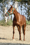 Thoroughbred young horse posing against green natural background. Closeup portrait of a young gidran youngster royalty free stock images