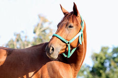 Thoroughbred young horse posing against green natural background. Head of a young chestnut horse against natural background. Side view head shot of a young royalty free stock photos