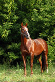 Thoroughbred young horse in spring woods Royalty Free Stock Photo