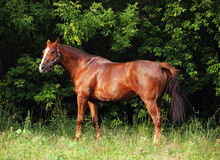 Thoroughbred young horse in summer woods Royalty Free Stock Images