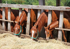 Thoroughbred young horses in the paddock eating hay Royalty Free Stock Photos