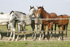 Thoroughbred young horses standing at the corral gate Two thoroughbred young horses standing at the corral gate Royalty Free Stock Image