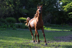 Thoroughbred young stallion canter on summer meadow Royalty Free Stock Image
