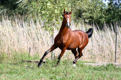 Thoroughbred young stallion canter on summer meadow. Side view shot of a galloping young arabian  stallion on pasture Stock Photography