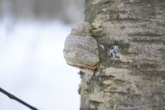 Though inedible, F. fomentarius has traditionally seen use as the main ingredient of amadou, a material used primarily as tinder,. Fomes fomentarius commonly Stock Photography