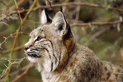Thoughful Bobcat Closeup Profile Fotografia Stock Libera da Diritti