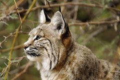 Thoughful Bobcat Closeup Profile. Thoughtful look of a Bobcat closeup profile. Eye, ears, spots, markings, fur with soft desert, cactus background Royalty Free Stock Photo