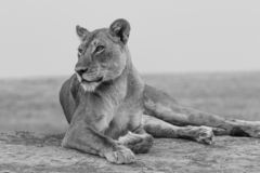 Lioness looking thoughfully in black and white royalty free stock photo