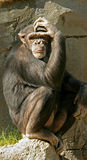 Thoughtful Ape Royalty Free Stock Photos