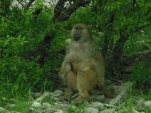 Thoughtful Baboon royalty free stock photo