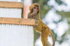 Thoughtful baby monkey Royalty Free Stock Photos