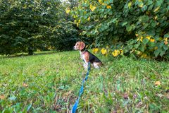 A thoughtful Beagle puppy with a blue leash on a walk in a city park. Portrait of a nice puppy. Eastern Europe stock image