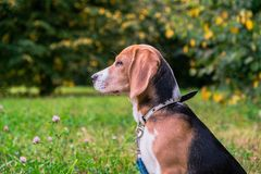 A thoughtful Beagle puppy with a blue leash on a walk in a city park. Portrait of a nice puppy. Eastern Europe royalty free stock photography