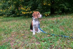 A thoughtful Beagle puppy with a blue leash on a walk in a city park. Portrait of a nice puppy. Eastern Europe royalty free stock images