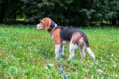 A thoughtful Beagle puppy with a blue leash on a walk in a city park. Portrait of a nice puppy. royalty free stock photo