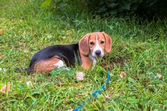 A thoughtful Beagle puppy with a blue leash on a walk in a city park. Portrait of a nice puppy. Eastern Europe stock photos