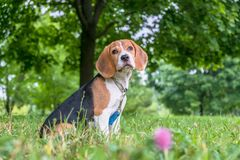 A thoughtful Beagle puppy with a blue leash on a walk in a city park. Portrait of a nice puppy. royalty free stock photos