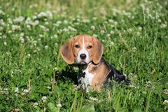 A thoughtful Beagle puppy with a blue leash on a walk in a city park. Portrait of a nice puppy. stock photography