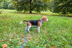 A thoughtful Beagle puppy with a blue leash on a walk in a city park. Portrait of a nice puppy. Eastern Europe stock images