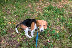 A thoughtful Beagle puppy with a blue leash on a walk in a city park. Portrait of a nice puppy. Eastern Europe stock photo