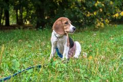 A thoughtful Beagle puppy with a blue leash on a walk in a city park. Portrait of a nice puppy. Eastern Europe royalty free stock photo