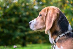 A thoughtful Beagle puppy with a blue leash on a walk in a city park. Portrait of a nice puppy. Eastern Europe royalty free stock photos