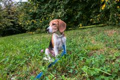 A thoughtful Beagle puppy with a blue leash on a walk in a city park. Portrait of a nice puppy. Eastern Europe stock photography