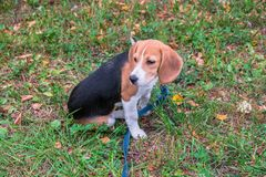 A thoughtful Beagle puppy with a blue leash on a walk in a city park. Portrait of a nice puppy. stock images