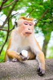 Thoughtful calm beautiful adult temple monkey with a piece of ri. Ce with green tropical tree on background Stock Photography