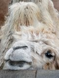 Thoughtful Camel. Thoughtful aged camel looking for food Royalty Free Stock Photos